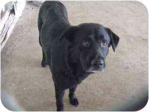 Labrador Retriever Mix Dog for adoption in Gladwin, Michigan - Lab Mix