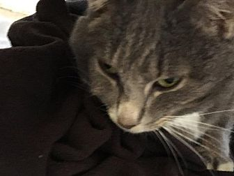 Domestic Shorthair Cat for adoption in Bourbonnais, Illinois - Stormy