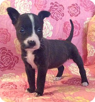 Hound (Unknown Type)/Pit Bull Terrier Mix Puppy for adoption in Cincinnati, Ohio - Frenchie