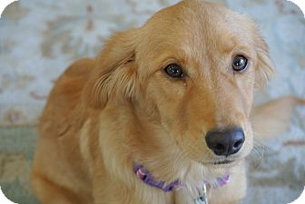 Evergreen Co Golden Retriever Meet Chiffon A Pet For Adoption