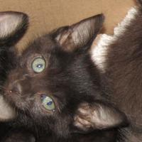 Adopt A Pet :: Gable - West Memphis, AR
