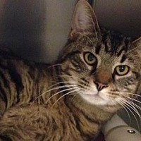 Adopt A Pet :: Brody - Anderson, IN