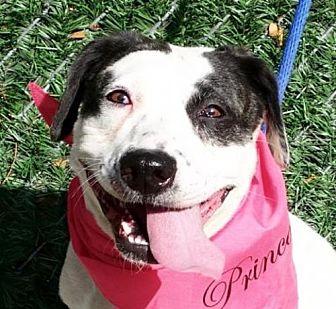 American Staffordshire Terrier Mix Dog for adoption in Whitestone, New York - Paula (Acc)