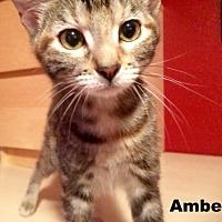 Adopt A Pet :: Amber - Austin, TX