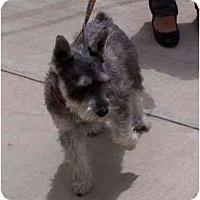 Adopt A Pet :: Schnoozer - Riverside, CA