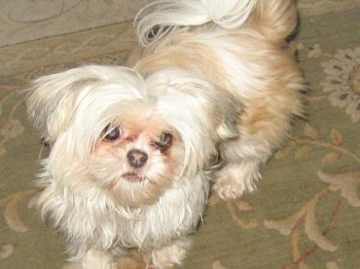 San Jose Ca Shih Tzu Meet Kiki A Pet For Adoption