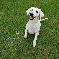 Standard Poodle Mix Dog for adoption in Marshfield, Massachusetts - DIAMOND-ADOPTED