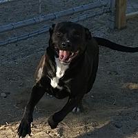 Adopt A Pet :: Shadow - Los Angeles, CA