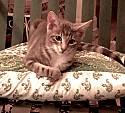 Adopt a Pet :: Jelaru & Obie - Los Angeles, CA -  Domestic Shorthair