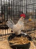 Adopt a Pet :: YARROW - Methuen, MA -  Chicken
