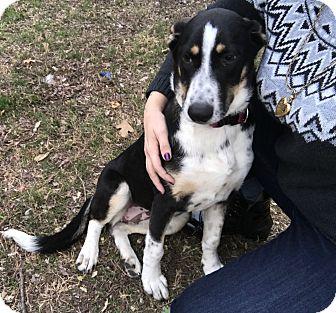 Shepherd (Unknown Type)/Cattle Dog Mix Puppy for adoption in Redmond, Washington - Cirrus