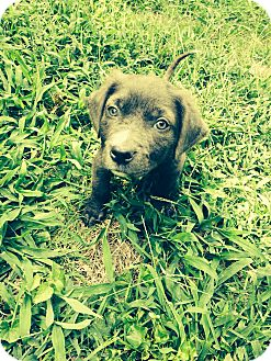 Boxer/Labrador Retriever Mix Puppy for adoption in Nashville, Tennessee - PALMER