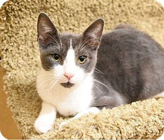 Domestic Shorthair Kitten for adoption in Hillside, Illinois - Gary-5 MTHS $125 -EXTRA CUDDLY