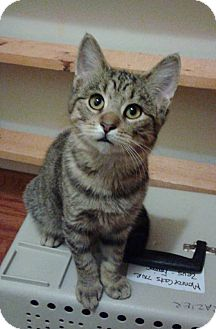Domestic Shorthair Kitten for adoption in Newport, Michigan - Molly