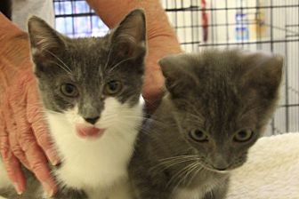 Adopt A Pet :: kittens  - Floral City, FL