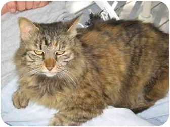 Maine Coon Cat for adoption in Kokomo, Indiana - Fluffy
