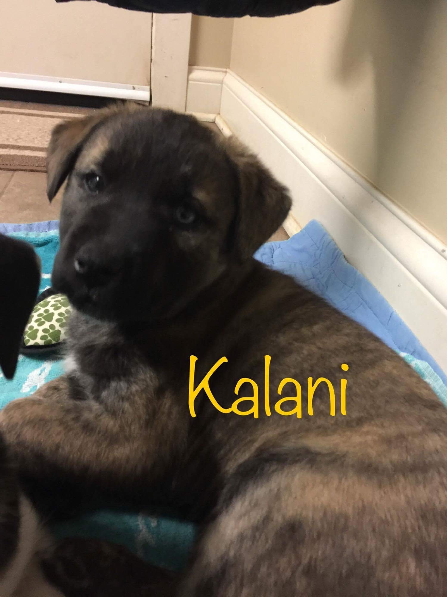 Owensboro, KY - Husky  Meet Puppies!! a Pet for Adoption