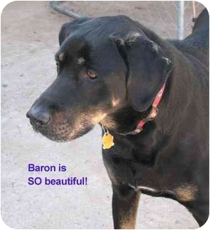Vista Ca Great Dane Meet Baron A Pet For Adoption
