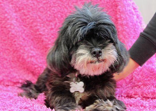 Los Angeles, CA - Havanese  Meet Gertie a Pet for Adoption
