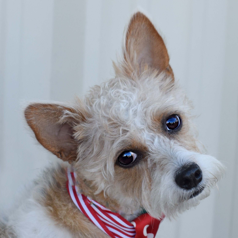 Denver, CO - Westie, West Highland White Terrier. Meet Archie a Dog ...