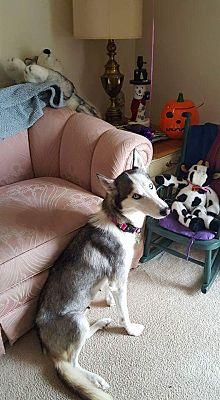 Springfield Mo Siberian Husky Meet Aurora A Pet For Adoption