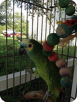 Amazon for adoption in Punta Gorda, Florida - Savannah