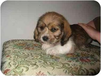 Fenton Mo Shih Tzu Meet Baby Boys A Pet For Adoption