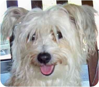 Chinese Crested/Poodle (Miniature) Mix Dog for adoption in Olive Branch, Mississippi - China Doll
