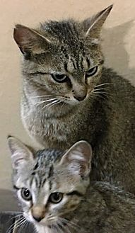 Domestic Shorthair Cat for adoption in Walworth, New York - Mom Gail & Katniss