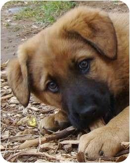 Full Blood Malinois Puppies TULSA OKLAHOMA Pets For Sale Classified Ads -  FreeClassifieds.com