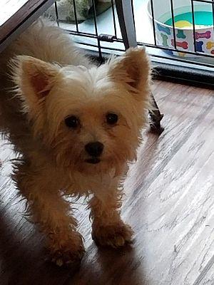 Columbus, OH - Westie, West Highland White Terrier  Meet Little