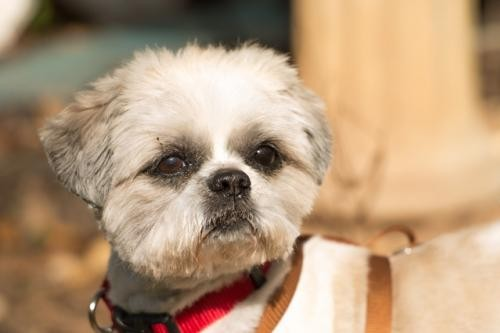 Tallahassee Fl Shih Tzu Meet Landon Adopted A Pet For Adoption