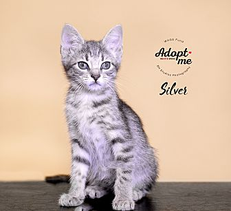 Adopt A Pet :: Silver  - Houston, TX