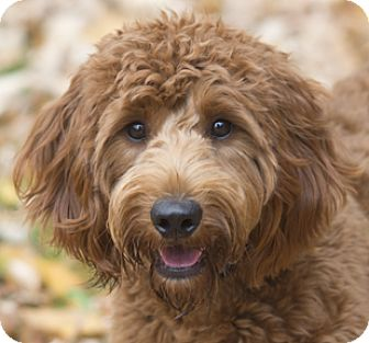 Chicago, IL - Goldendoodle  Meet Red Ryder a Pet for Adoption