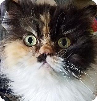 Persian Cat for adoption in Columbus, Ohio - Krissy