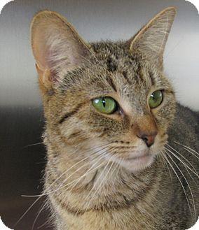 Domestic Shorthair Cat for adoption in Sierra Vista, Arizona - Oaklee