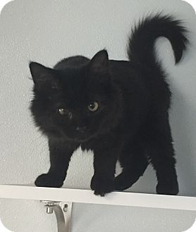 Domestic Mediumhair Kitten for adoption in Greensburg, Pennsylvania - Amidala