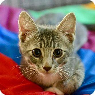 American Shorthair Kitten for adoption in Poughkeepsie, New York - George