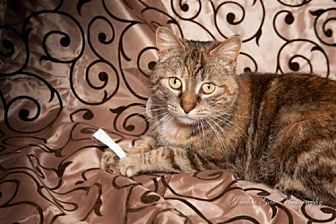 Domestic Shorthair Cat for adoption in Elizabethtown, Pennsylvania - Amanda