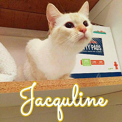 Cleveland Oh Colorpoint Shorthair Meet Jaquline A Pet For Adoption