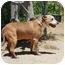 Photo 2 - Bull Terrier Mix Dog for adoption in California City, California - Chelsea