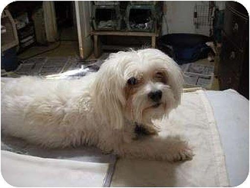Corpus Christi Tx Maltese Meet Buddy A Pet For Adoption