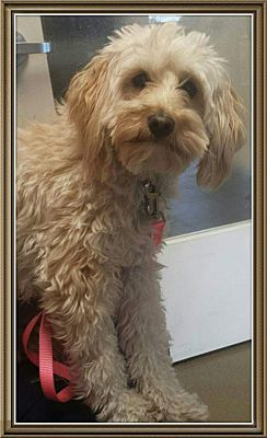 San Diego, CA - Goldendoodle  Meet Lacey a Pet for Adoption