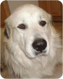Great Pyrenees Dog for adoption in Tulsa, Oklahoma - Beau -Adopted