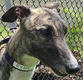 Greyhound Mix Dog for adoption in Longwood, Florida - RS Perfic Crime