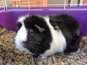 Adopt A Pet :: Coco  - Laramie, WY