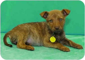 Labrador Retriever/Shepherd (Unknown Type) Mix Puppy for adoption in Westminster, Colorado - KENNEDY
