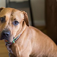 Pit Bull Terrier/Rhodesian Ridgeback Mix Dog for adoption in Reisterstown, Maryland - Dallas