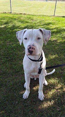 west berlin, NJ - Dogo Argentino  Meet Bert a Pet for Adoption