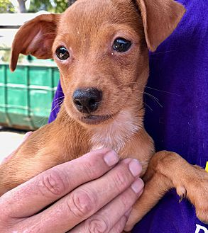 Adopt A Pet :: Red, CaiWhePoo Puppy  - Corona, CA